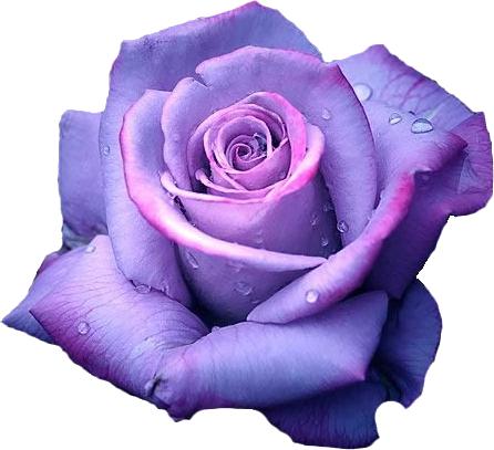 black kitten purple roses  Google Search  PURPLE LOVELY