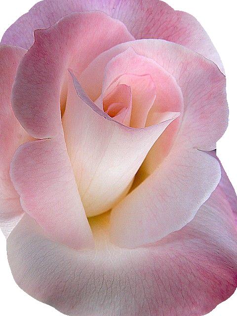 tubes fleurs roses