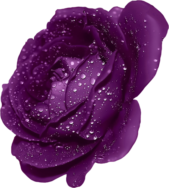 Clipart roses purple Clipart roses purple Transparent