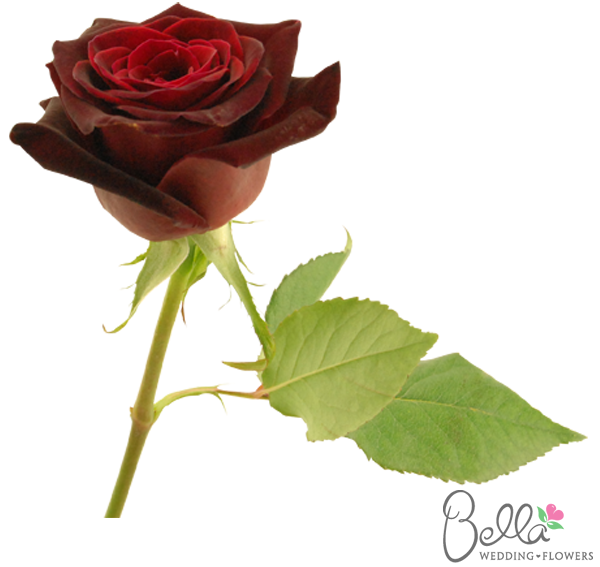 Black Baccara Roses are a gorgeous variety of red rose and
