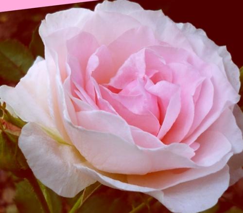 Tube fleur tube roses  Photos Gif