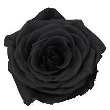 Rosier noir acheter  Photo de fleur  Une pensee fleuriste
