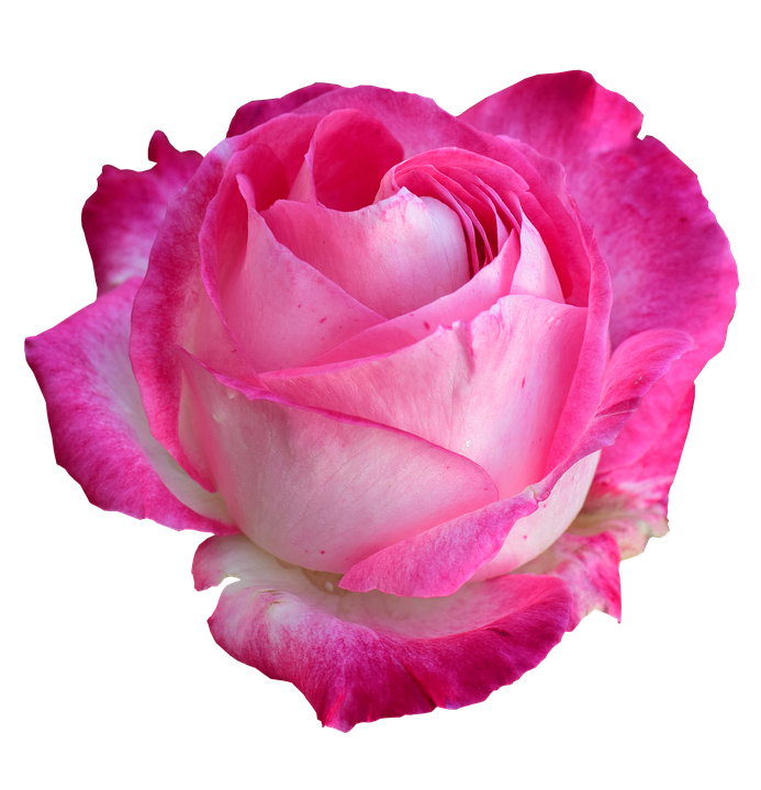 Free photo Rose Png Rose Bright Rose  Max Pixel