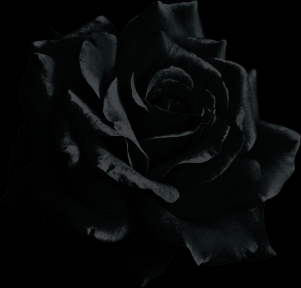 Black Rose Transparent Background  Free Black Rose