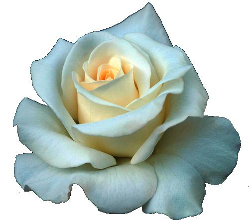 Full Grown White Rose PNG  PNG Mart