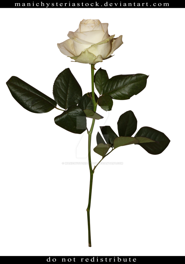 White Rose Long Stem Cut Out by ManicHysteriaStock on