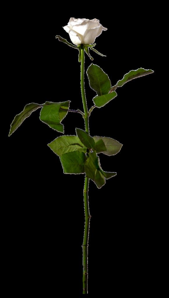 Single White Rose  Stock by InadesignStock on DeviantArt