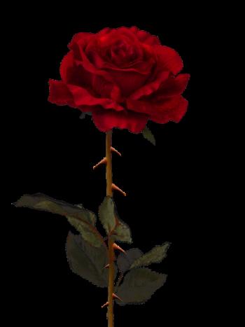 rosas png tumblr  Pesquisa Google  Black roses wallpaper