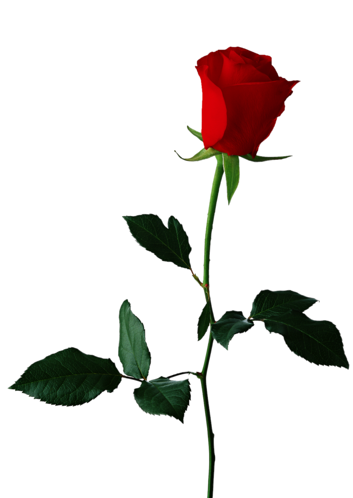 Black rose Flower Clip art  Single Red Rose Transparent
