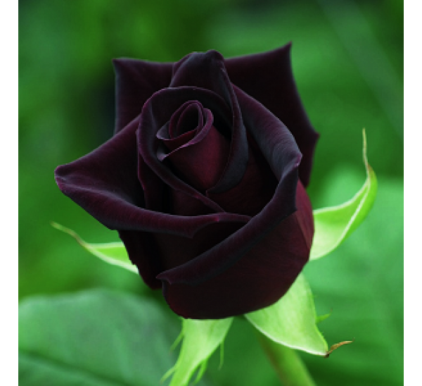 Buy Black Rose Seeds  Pack of 5 Seeds online at cheap