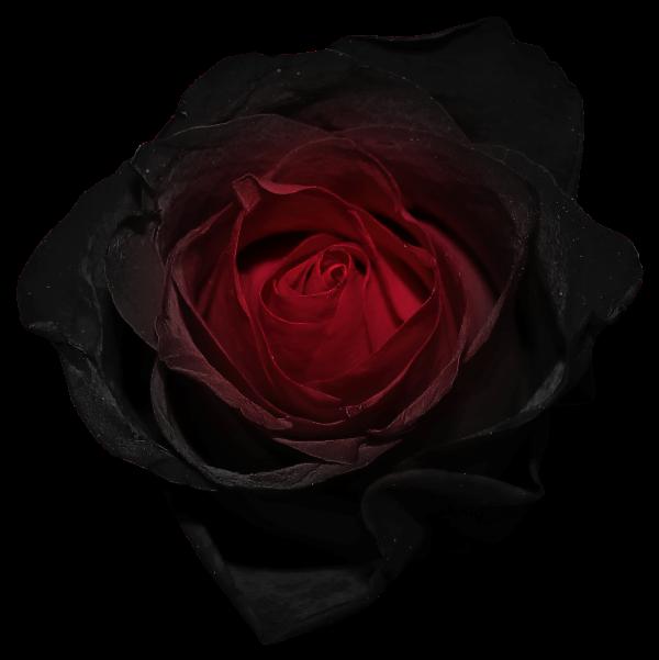 Black Rose Clip Art  Clipartsco