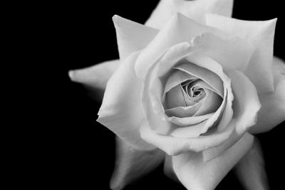 Rose Black N White  Clipartsco