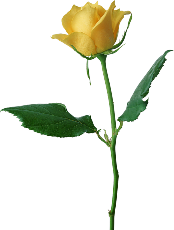 Animated Roses Images  Clipartsco