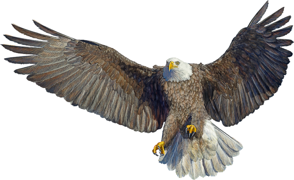 Bald Eagle Drawing Landing  Bird png download  1600979