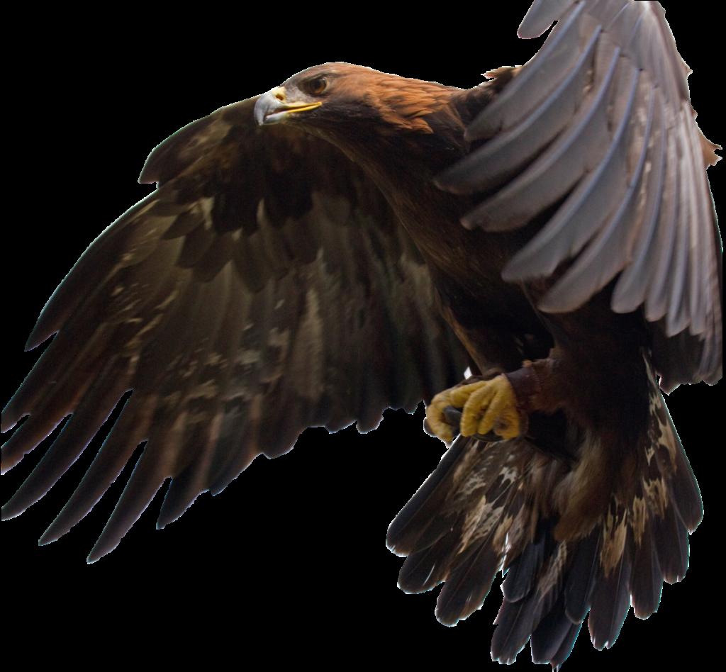 FileGolden Eagle in flight SVGsvg  Wikimedia Commons