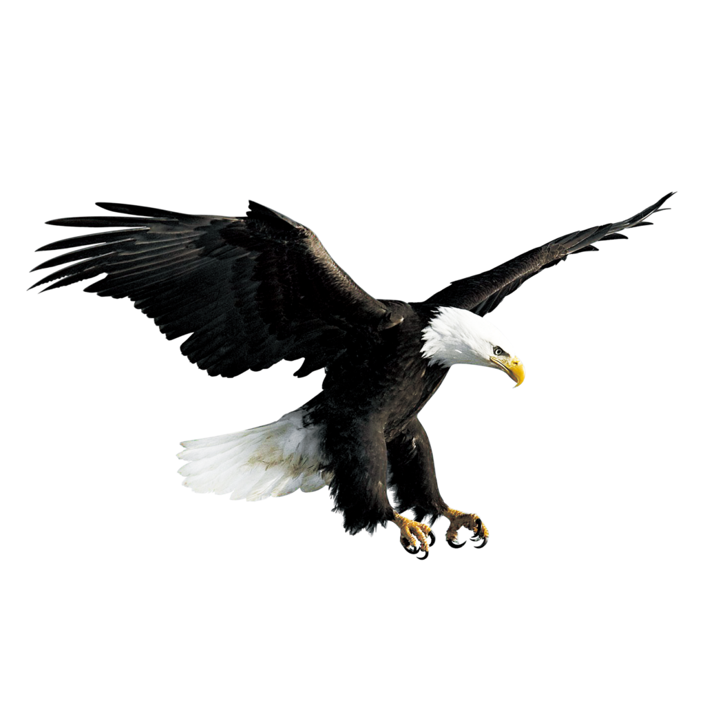 Bald Eagle Hawk Falconiformes  Flying eagle png download
