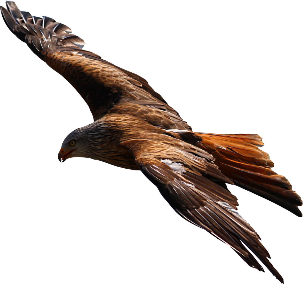 Flying Eagle Vector file image  Free stock photo  Public