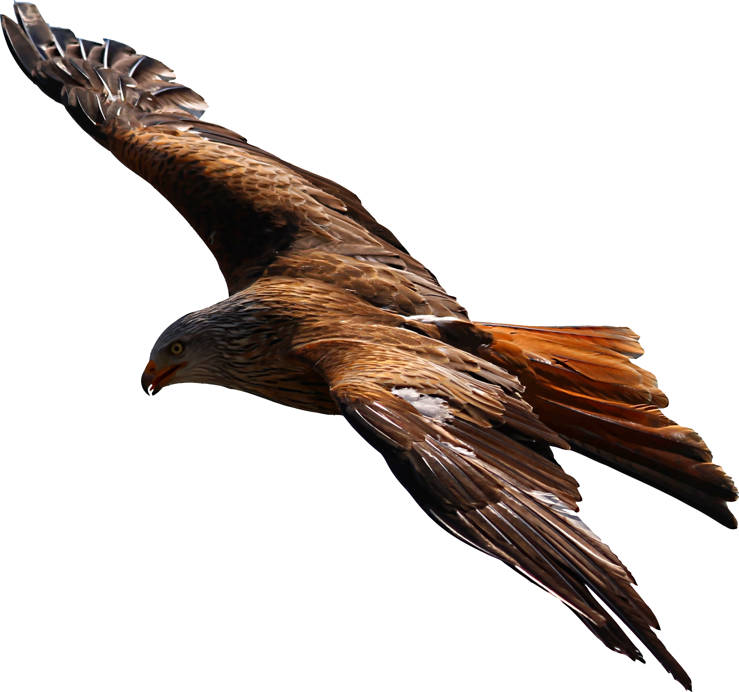 Flying Eagle Vector file image - Free stock photo - Public ... - Flying Eagle Vector Art
